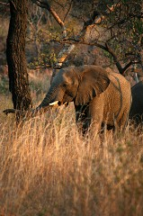 Loxodonta Africana - South Africa